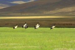 Crans con il collo neri a Ladakh Fotografie Stock Libere da Diritti