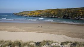 Crantock beach view to Pentire near Newquay Cornwall England UK with yellow gorse stock footage