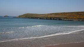 Crantock beach view to Pentire North Cornwall England UK near Newquay with yellow gorse stock video footage