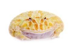 Cranwell ` s βάτραχος που απομονώνεται κερασφόρος στο λευκό Στοκ Εικόνες
