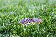 Cranwell` s Gehoornde Kikker in Gras stock afbeelding