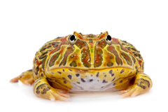 Cranwell`s horned frog isolated on white. The Cranwell`s horned frog, Ceratophrys cranwelli, isolated on white background stock images