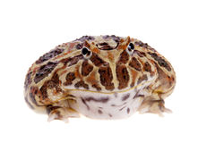 Cranwell`s horned frog isolated on white