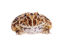 Cranwell`s horned frog isolated on white. The Cranwell`s horned frog, Ceratophrys cranwelli, isolated on white background royalty free stock photos