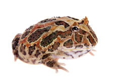 Cranwell`s horned frog isolated on white Royalty Free Stock Image