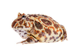 Cranwell`s horned frog isolated on white Stock Photos