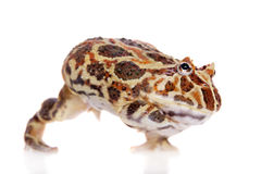 Cranwell`s horned frog isolated on white Stock Image