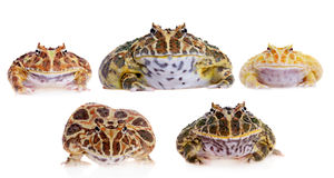 Cranwell`s horned frogs set on white Royalty Free Stock Photography