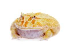 Cranwell ` s uzbrajać w rogi żaby odizolowywającej na bielu fotografia stock