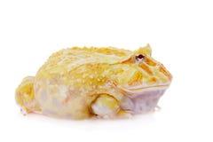 Cranwell ` s uzbrajać w rogi żaby odizolowywającej na bielu zdjęcie stock