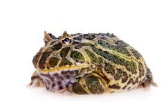 Cranwell ` s uzbrajać w rogi żaby odizolowywającej na bielu obraz royalty free