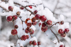 Crab apples on snowy branch Stock Photography