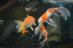Crap Koi Royalty-vrije Stock Foto