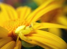 Crap spider. On yellow flower Royalty Free Stock Photography