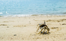 Crap walking on the beach Royalty Free Stock Photography