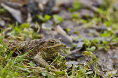 Crapaud à l'herbe Image stock