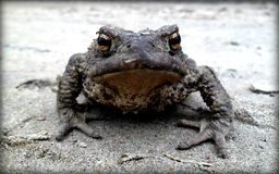crapaud Photos stock