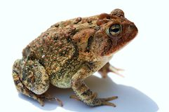 Crapaud Photo stock