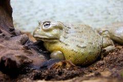 Crapaud amphibie de grenouille de pot africain de l'eau Photo stock