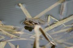 Crapaud commun nageant au printemps la piscine Photos libres de droits