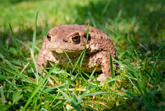 Crapaud commun sur une herbe d'été Image stock