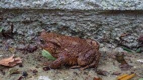 Crapaud de Brown appréciant l'humide Photo libre de droits
