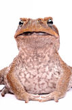 Crapaud de canne d'isolement sur le fond blanc Photo stock