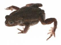 Crapaud de grenouille Photographie stock libre de droits