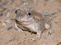 Crapaud de spadefoot mexicain Photo libre de droits