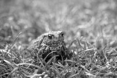Crapaud dedans parmi l'herbe Image libre de droits