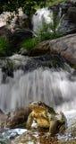 Crapaud et eau Images stock
