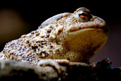 Crapaud européen de grenouille (bufo de bufo) Photographie stock