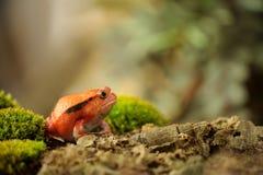 Crapaud rouge de Madagascar - Dyscophus antongilii Stock Photography