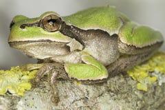 Crapaud vert commun dans le hanitat/arborea naturels de Hyla Photographie stock libre de droits