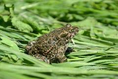 Crapaud vert (viridis de Bufo) Photographie stock