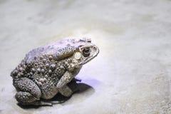 Crapauds avec la peau inégale et se reposer sur le plancher, amphibies photos stock