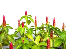 Crape ginger, Malay ginger, Spiral Flag, Wild ginger,Indian Head Royalty Free Stock Photo