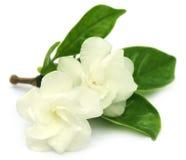 Crape jaśmin lub Tagar kwiat Indiański subkontynent fotografia stock