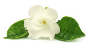 Crape Jasmine or Tagar Flower of Indian subcontinent Stock Photography