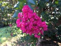 Crape Klonowy kwiat Zdjęcie Royalty Free