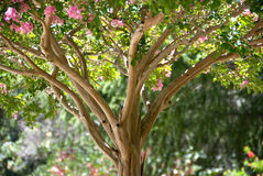 Crape Myrtle Royalty Free Stock Images
