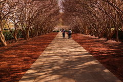 Crape Myrtle Alley, Dallas. An alley of Crape Myrtle trees Royalty Free Stock Photography
