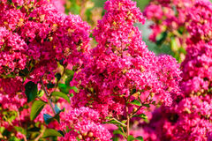 Crape Myrtle background closeup. Closeup of pink crape myrtle blossoms in the outdoors garden in the middle of summer royalty free stock image