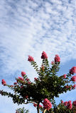 Crape myrtle Royalty Free Stock Photo