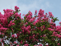 Crape myrtle Royalty Free Stock Image