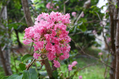 Crape Myrtle Beautiful pink flower. Lagerstroemia indica : blooms in the garden, select focus pink Crape Myrtle and soft-focus background stock image