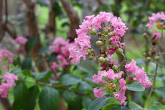 Crape Myrtle Beautiful pink flower. Lagerstroemia indica : blooms in the garden, select focus pink Crape Myrtle and soft-focus background royalty free stock photo