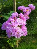 Crape myrtle in Blooming royalty free stock photo