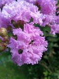 Crape myrtle in Blooming stock photography