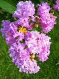Crape myrtle in Blooming. Closeup pink Crape myrtle flower Lagerstroemia indica on green plant background royalty free stock image